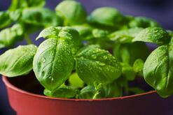 basil Repels Mosquitos arround your pool