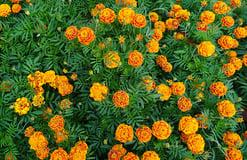 marigolds Repel Mosquitos arround your pool